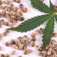 Ce tipuri de seminte cannabis exista?